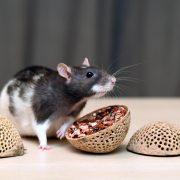 szczur-ham-stake-coco-trio