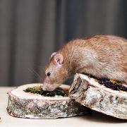 szczur-ham-stake-pizza-ze-zbozem-kwiatami-i-pizza-z-warzywami
