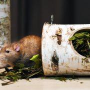 szczur-ham-stake-podwieszany-tunel-brzozowy