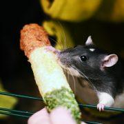 szczur-ham-stake-przysmak-kukurydziany-z-leszczyna-2