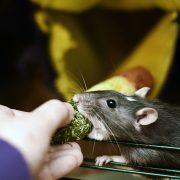 szczur-ham-stake-przysmak-kukurydziany-z-leszczyna-3