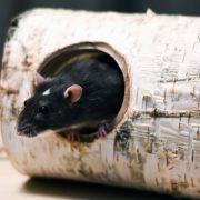 szczur-ham-stake-tunel-brzozowy-xxl