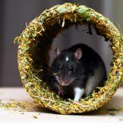 szczur-ham-stake-tunel-nagietkowy