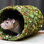 szczur-ham-stake-tunel-warzywno-ziolowy
