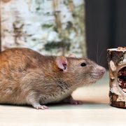 szczur-ham-stake-tunelik-brzozowo-warzywny