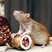 szczur-ham-stake-tunelik-brzozowo-warzywny-i-szyszka-z-warzywami